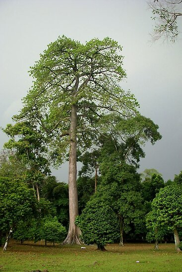 Giant tree, Bogor, West Java by Tim Coleman