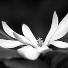 Star Magnolia by Tiffany Dryburgh