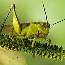 Grasshopper by jimmy hoffman