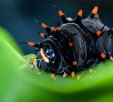 Chomp - Cairns birdwing caterpillar by Jenny Dean