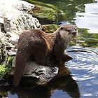 Oriental small clawed otter about to go for a swim by steve37