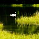 Swan on Pond by M a r i e B a r c i a