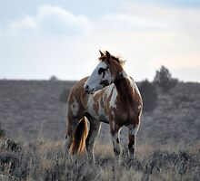 Mustang Mare on the South Steens by Tracey Westbury