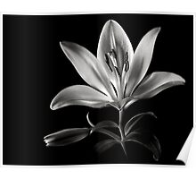 Tiger Lily In Black and White Poster