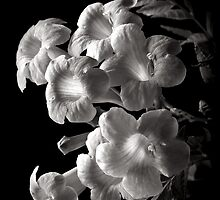 Orange Jubilee In Black and White by Endre