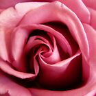 Rose Swirls by Judith Hayes