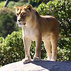 Lioness standing on a rock by steve37