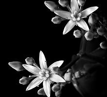 Sedum in Black and White by Endre