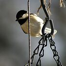 Chickadee hanging out....... by Ruth Lambert