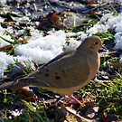 Mourning Dove by Ruth Lambert