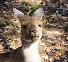 Kangaroo by Julia Harwood