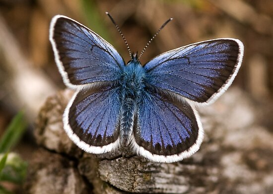 Silver-studded Blue Butterfly (Plebius argus) by Paul Ritchie