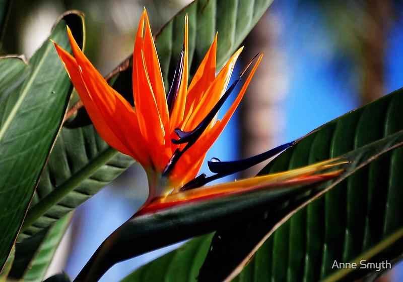 Bird of Paradise by Anne Smyth