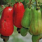 FRUIT OF THE CASHEW  NUT- Anacardium accidentale by Magaret Meintjes