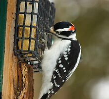 Woody the Hairy woodpecker is hungry by Josef Pittner