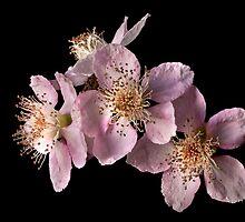 Blackberry Flowers by Endre