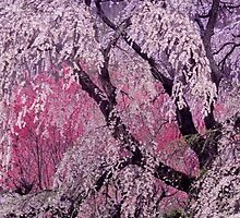 Cherry  Blossom  ,JAPAN   Nara  , April  by yoshiaki nagashima