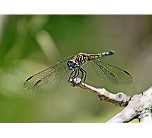 Pachydiplax longipennis ~ Blue Dasher~Female Photographic Print