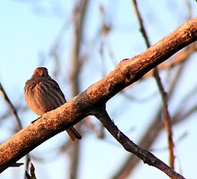 Female House Finch by Alyce Taylor