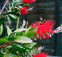 bottle brush plant bursting with buds .. by Joyce Knorz