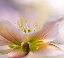 Hidden Hellebore by Jacky Parker