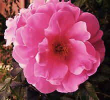 Ramblin' Rose by jules572