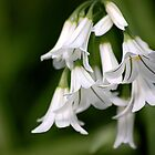 Galanthus nivalis by mikepom