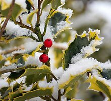 Winter Holly by Gerry Allen