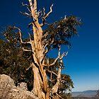 Ancient Bristlecone Pine by Zane Paxton