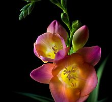 Freesia by Endre