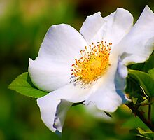 Cherokee Rose (Rosa laevigata) by Bron Praslicka
