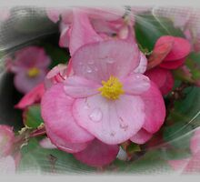 A small pink begonia full of pizzaz! by Nanagahma