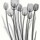 BUNCH OF TULIPS by Paul CESSFORD