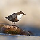 White-throated Dipper by BogdanBoev