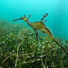 Weedy Sea Dragon by Mark Jones