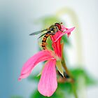 Hover Fly and Pink Petals by bfburke