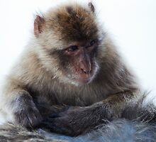 Young Gibraltar Macaque by Marc Garrido Clotet
