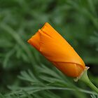 A bud of California poppy by pulen