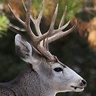 Evening Buck by Carl M. Moore