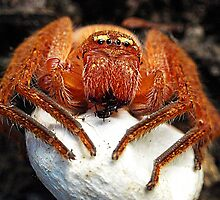 Spider with Egg Sac by Bev Pascoe