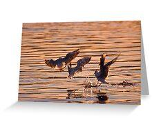 Black-headed gulls at sunset Greeting Card