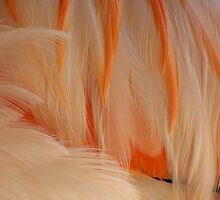 Chilean Flamingo by Kelly Robinson