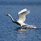 Swan in flight by natural09