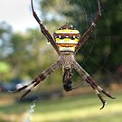 St Andrews Cross Spider by Gryphonn