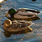 Mallard Duck Pair by NJorgensen