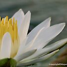 NYMPHAEACEAE  Waterlily Family (My fav white Waterlily) by Magaret Meintjes