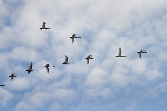 Tundra Swans in Flight by Mark Van Scyoc