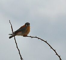 Kestrel by Nancy Barrett