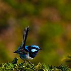 superb fairy-wren by col hellmuth
