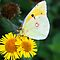 Clouded yellow butterfly feeding on flower by nymphalid